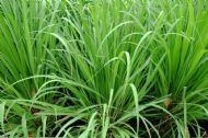 Lemon Grass 100 Seeds- Unique Lemony- Sweet Flavour